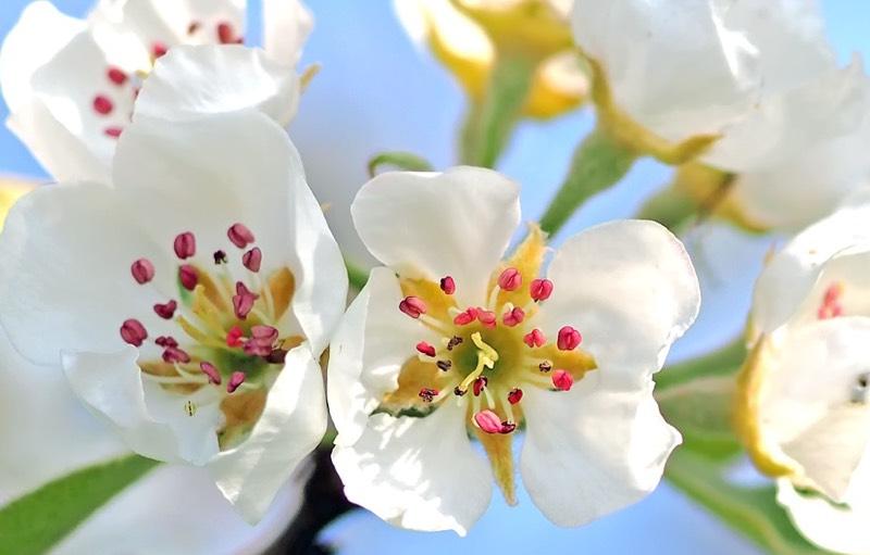 Pear Blossoms color palette