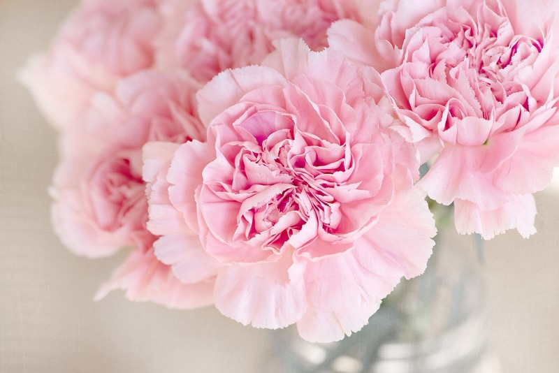 Pink Carnation - flower