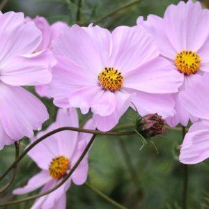 Pink Cosmea flowers