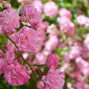 Pink Flowers of Spring