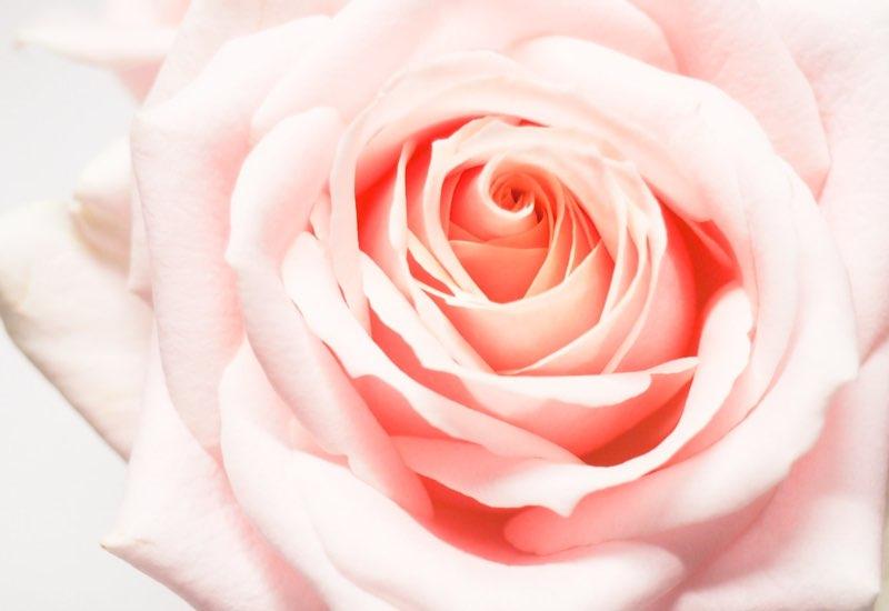 Pinkest of roses