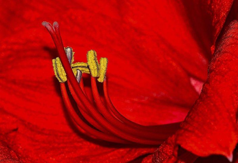 Red Amarllis flower