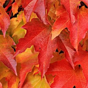 Bright red colored autumn maple leaves