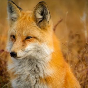 Red Fox, Orange Fur
