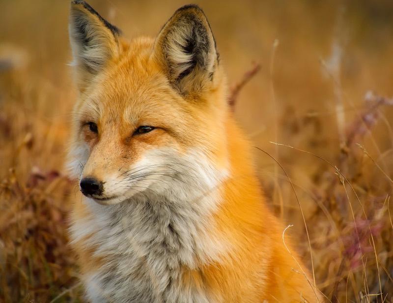 Red Fox, Orange Fur