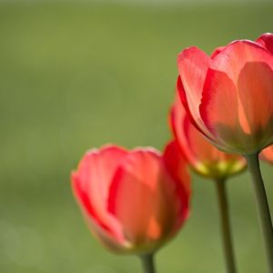 Red Tulips and Green