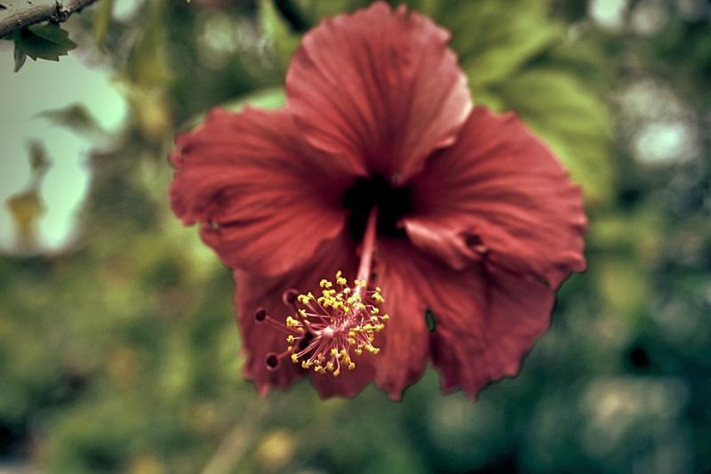 Retro Hibiscus