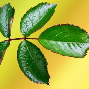Rose Leaf - Green and Red