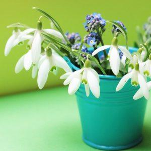 Snowdrop Flowers In Green Bucket