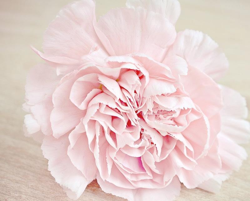Soft Pink Carnation