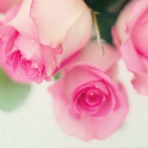 Spring Pink Rose Flower