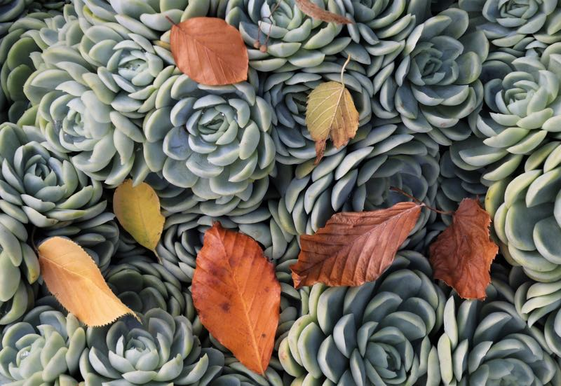 Succulents and autumn leaves