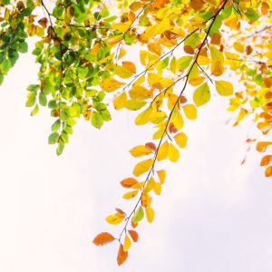 Summer to autumn color changing leaves