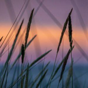 Sunset behind reeds on a lake