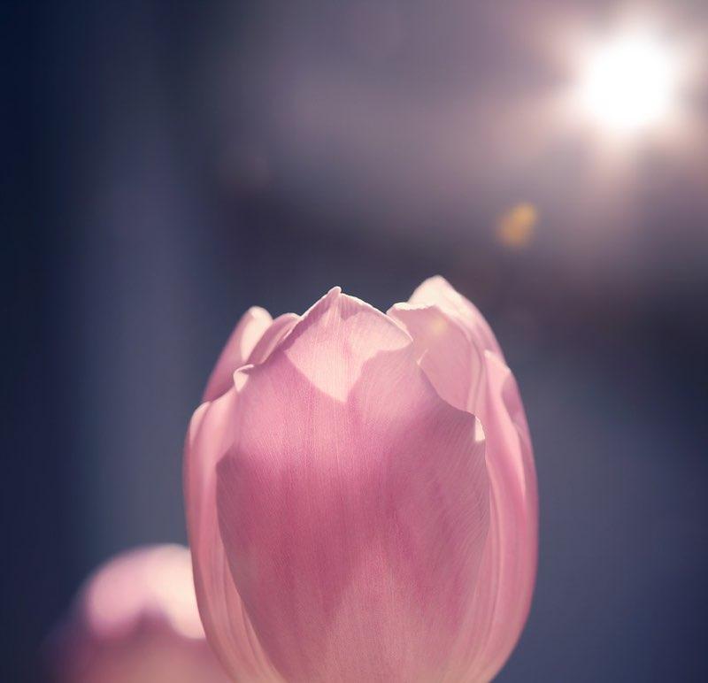 Pink tulip crown