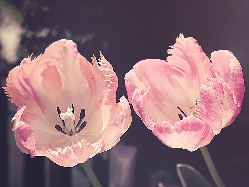 Two pink tulips