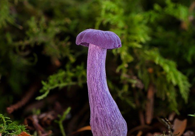 Violet Mushroom