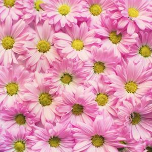 Wall of pink daisies