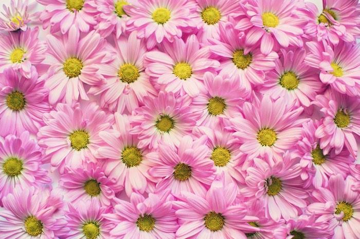 Wall of pink daisies