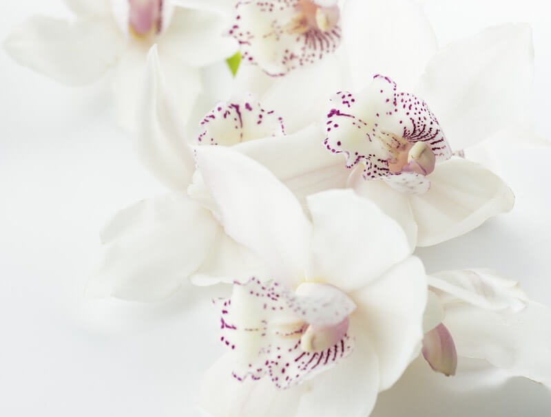 White orchids of spring