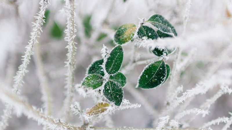 Winter Frost on Leaves