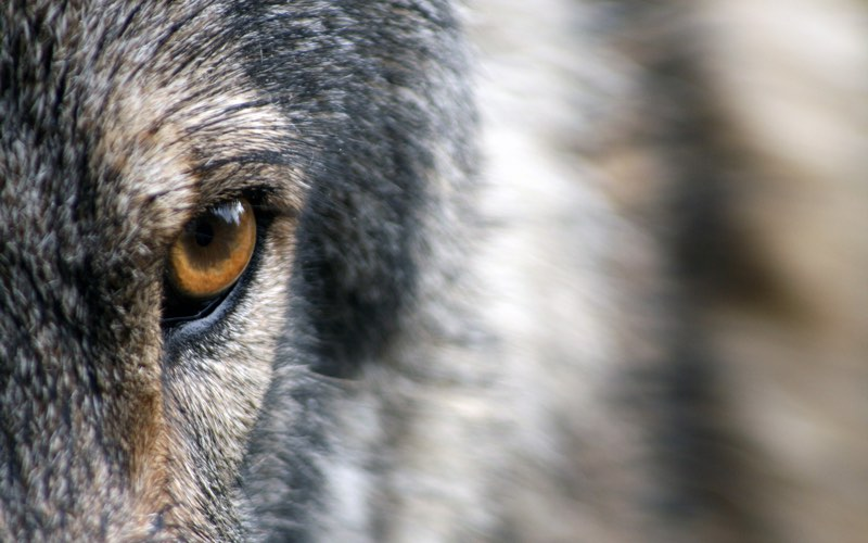Stare by a wolf