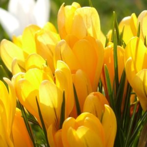 Yellow Crocus Blooms