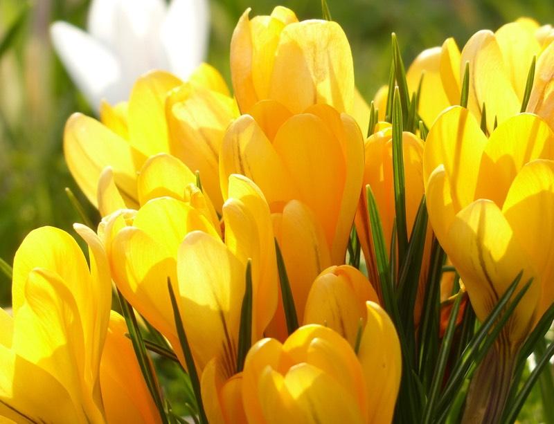 Yellow Crocus Blooms