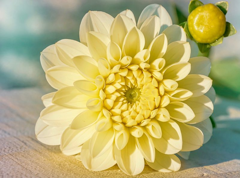 Yellow colored dahlia flower