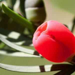 Yew Flower